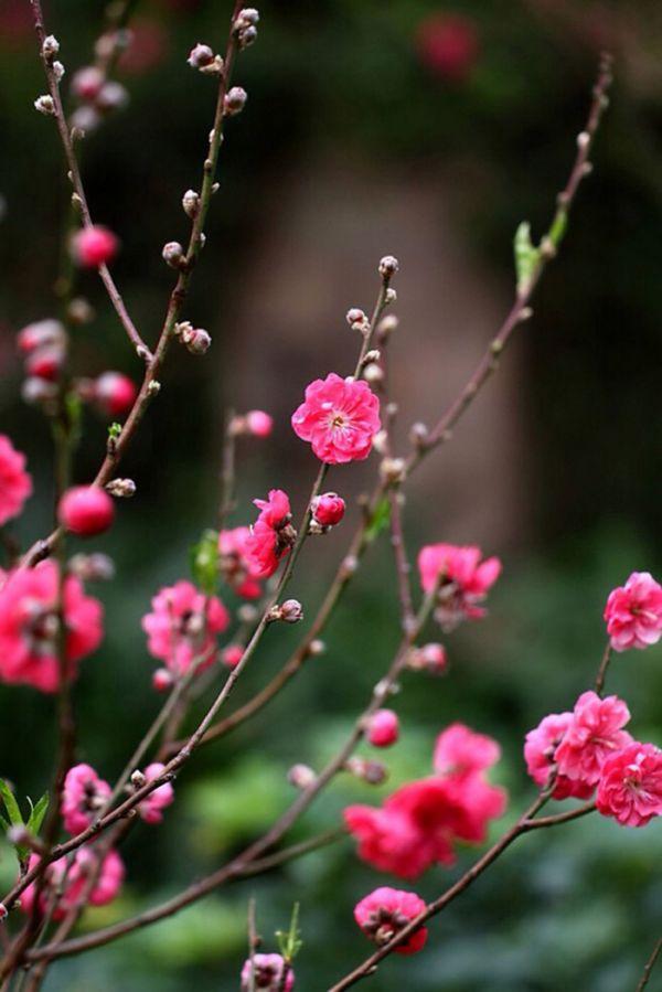 十里桃花春意撩人 芳香花朵唯美图片