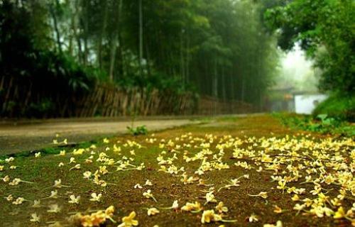 人闲桂花落 夜静春山空  唯美桂花雨图片