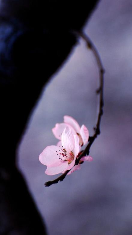 唯美意境花枝头上鲜花朵朵的小清新图片