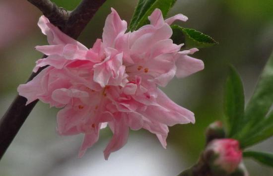 漂亮唯美新鲜桃花图片大全